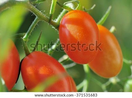 close on beautiful small tomatoes on a green background - stock photo