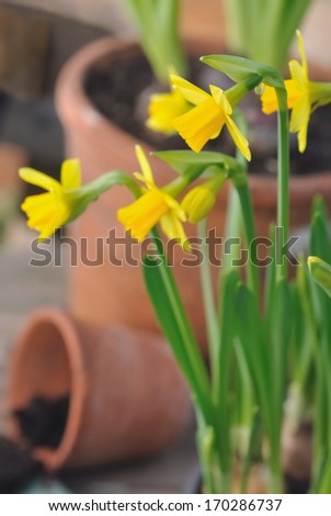 close on daffodils in front of terracotta pots  - stock photo
