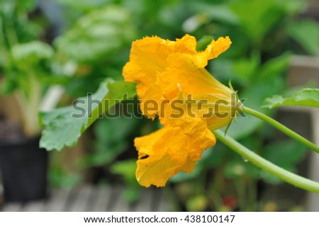 close on flowers of zucchini  in a vegetable garden  - stock photo