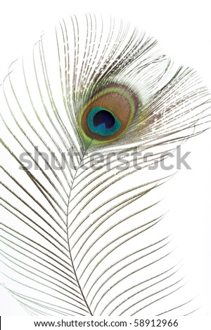 Close op of peacock feathers over white - stock photo