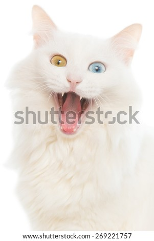 Close portrait of a yawning cat with different colored eyes on a white background - stock photo