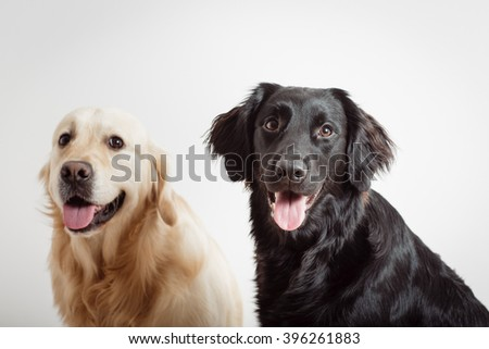 Close portrait of Golden Retriever with black Labrador Retriever sitting sitting together against a white background. - stock photo