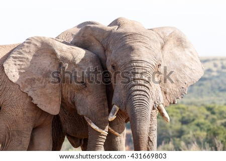 Close - The African bush elephant is the larger of the two species of African elephant. Both it and the African forest elephant have in the past been classified as a single species. - stock photo