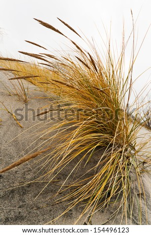 Close up a grass on the sand, bending on a wind - stock photo