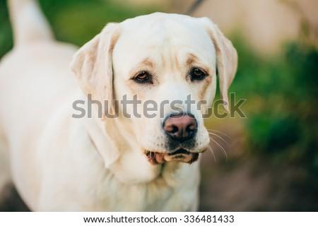 Close Up Adult White Labrador Dog. - stock photo