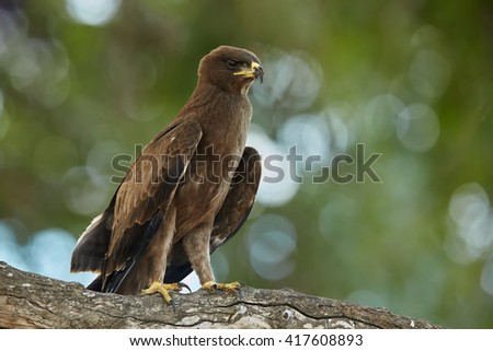 Close-up african bird of prey, Wahlberg's eagle, Hieraaetus wahlbergi perched on branch against blurred green treetop in background. Kruger national park, South Africa. - stock photo