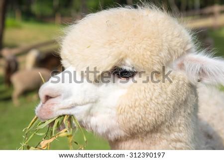 close up alpaca eating grass - stock photo