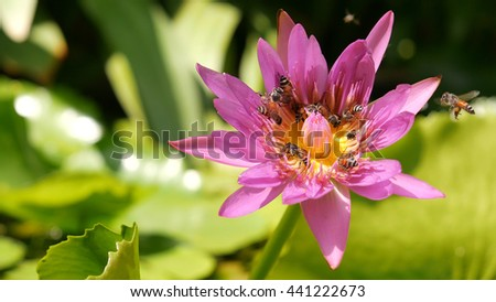 close up and blury background bee collecting pollen in deep of colorful blooming purple water lily view captured at lotus pond in Thailand. Lotus flower in Asia is important Buddhism culture symbolic - stock photo