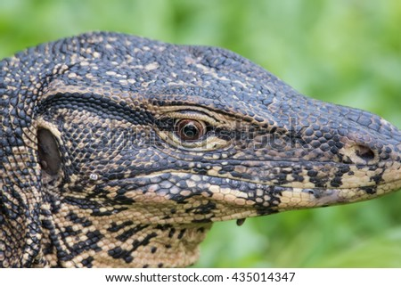Close up Asian water monitor   - stock photo