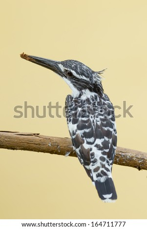 Close up back side portrait of Pied Kingfisher (Ceryle rudis)  - stock photo