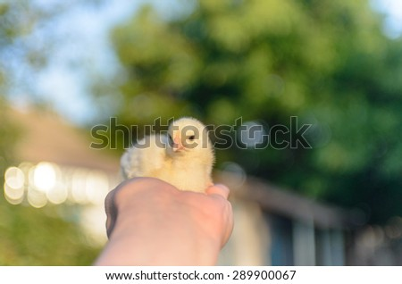 Close up Bare Human Hand Holding Small Cute Yellow Furry Chick up High. - stock photo