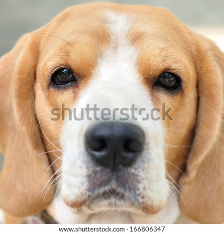 Close up beagle face eyes focus, square frame - stock photo