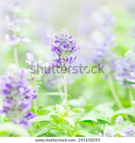 close up beautiful flower in garden , Sage plant (lat. Salvia Officinalis)  - stock photo