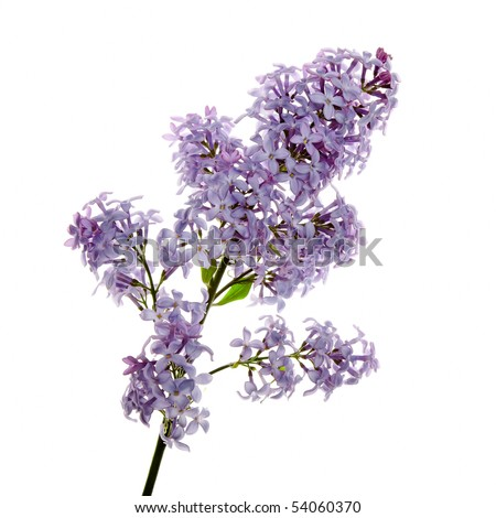 Close-up beautiful lilac flowers - stock photo
