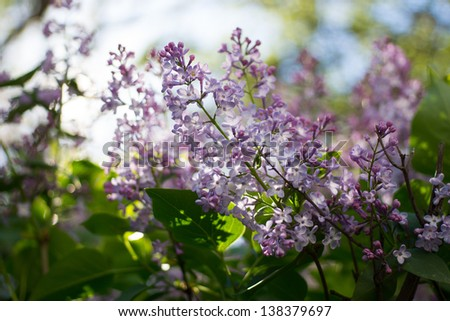 Close-up beautiful lilac flowers with the leaves - stock photo