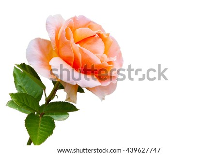 Close-up beautiful rose flower isolated on white background. Summer holiday post card - stock photo