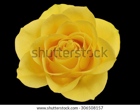 Yellow Rose Black Background Stock Photos, Images ...