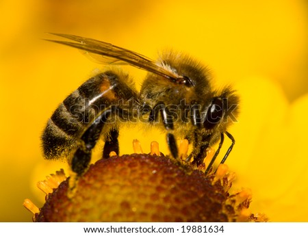 close-up bee on flower collects nectar - stock photo