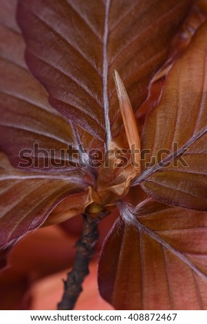 Close up beech leaves - stock photo