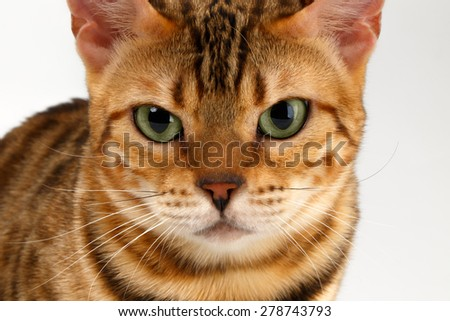Close-up Bengal Cat Looking Angry in Camera on White Background  - stock photo