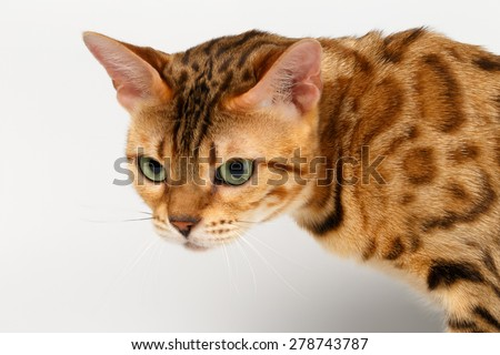 Close-up Bengal Cat Looking Angry on White Background  - stock photo