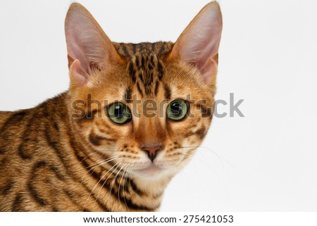 Close-up Bengal Cat Looking in Camera on White Background  - stock photo