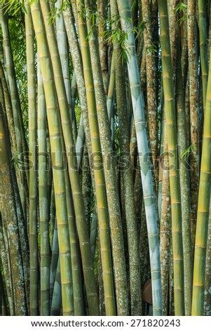 Close up big fresh bamboo grove in green color at Thailand forest - stock photo