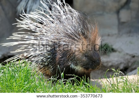 Close-up big young porcupine on grass - stock photo