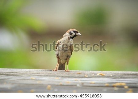 close up bird eurasian tree sparrow standing on wood table with green blur background - stock photo