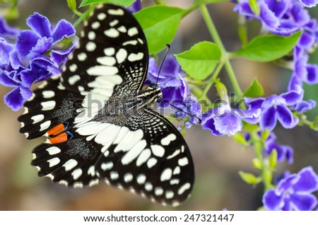 Close up black and white spots of Papilio demoleus or Lime butterfly eating nectar on blue flower - stock photo
