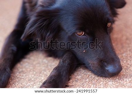 close up black Golden Retriever dog laying down - stock photo