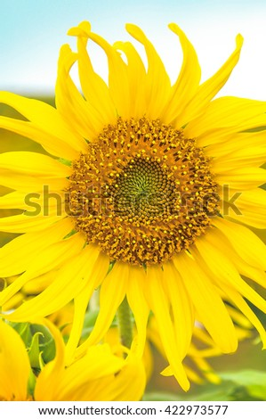close up blooming sunflower.  sunflower in field over blue sky. selective focus of sunflower background. bright filter. - stock photo