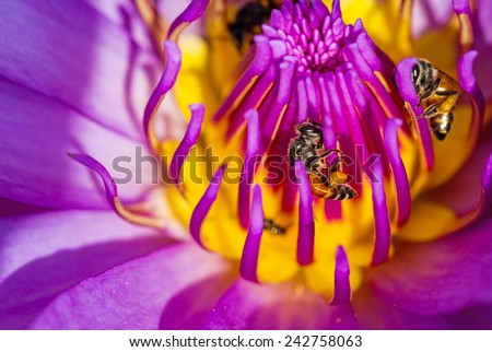 Close-up Blue lotus  and bee on the pond - stock photo