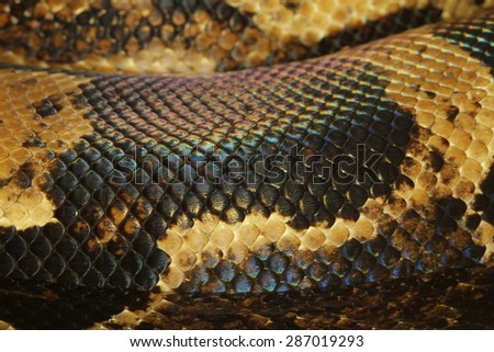 close up boa constrictor snake skin - stock photo