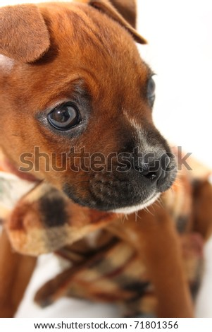Close-up Boxer puppy wearing brown jersey - stock photo