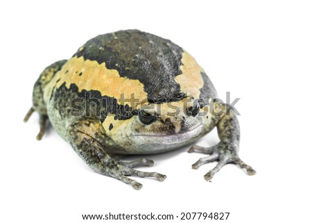 close up Bullfrog against white background - stock photo