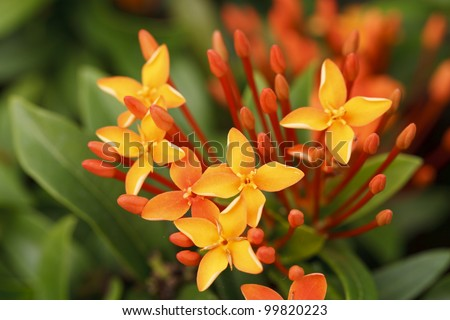 Close up bunch of red ixora flowers - stock photo