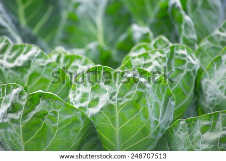 Close up cabbage leaf and blurred background - stock photo