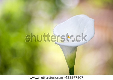 close up Calla Lily flower  - stock photo