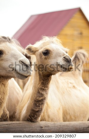 Close up Camel  - stock photo