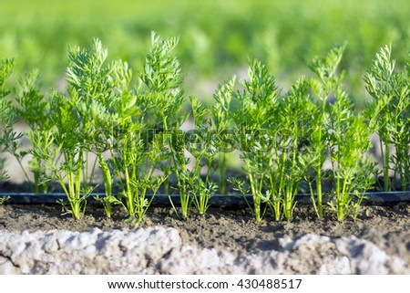 Close up carrot field, Shallow depth of field - stock photo