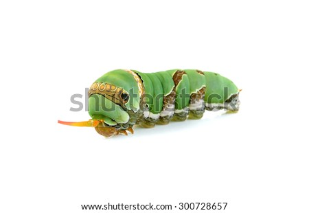 Close up caterpillar isolated on the white background. - stock photo