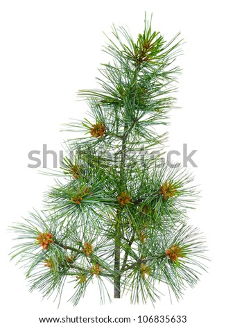 close up cedar pine with pollen. Isolated over white background - stock photo