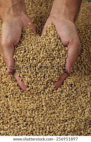 close up Cereal wheat with hands - stock photo