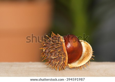 Close Up Chestnuts in brown nutshell isolated - stock photo