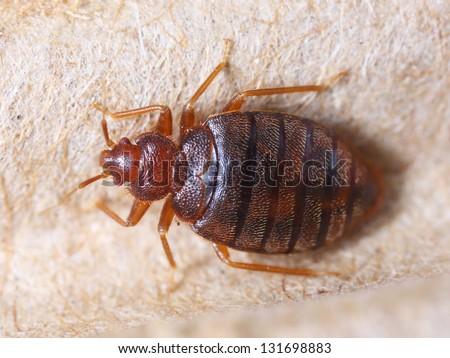 Close up cimex hemipterus on corrugated recycled paper, bedbug, blood sucker - stock photo