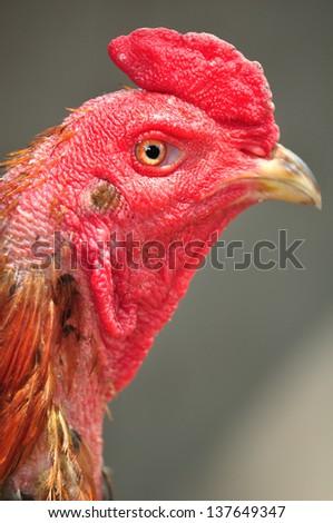 close up cockfight - stock photo