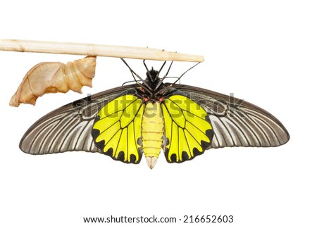 Close up cocoon and belly of male  Common Golden Bird-wing butterfly on white background - stock photo