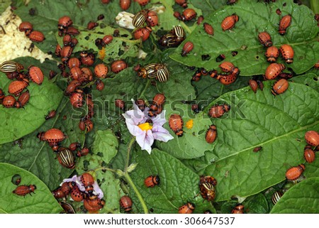 close-up Colorado potato beetle and larvae on the green leaves of potatoes in the garden sunlight  - stock photo