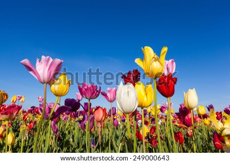 close up colorful tulips in tulip field. - stock photo